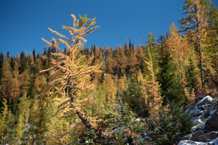 A larch in front of other larches