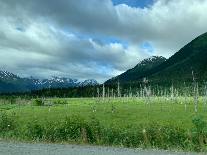 White tree trunks rising out of a green marsh, snow capped mountains in the background